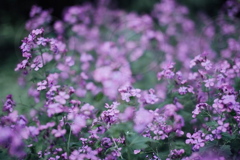 purple lavender flower field during daytime photo