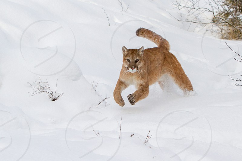 Mountain Lion running thru deep snow photo