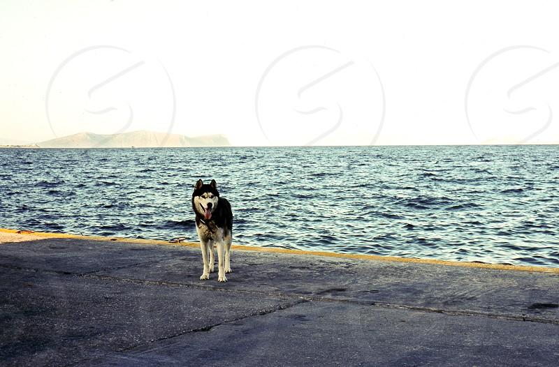 husky dog seaside port horizon yellow line distance photo