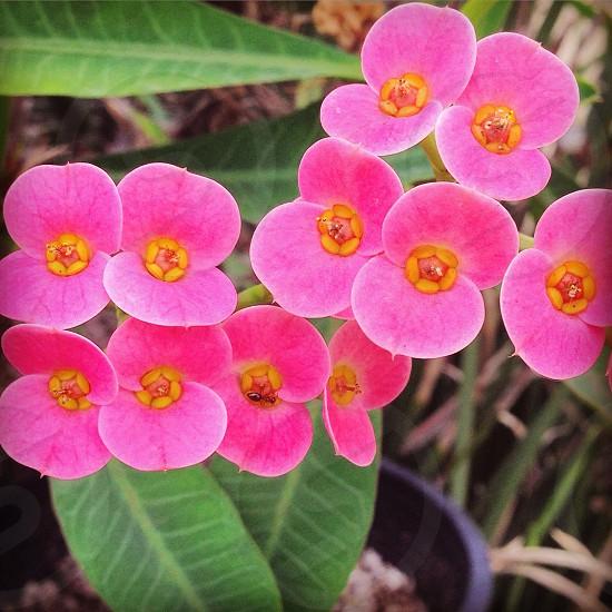 bright pink Euphorbia milli flowers closeup photography photo