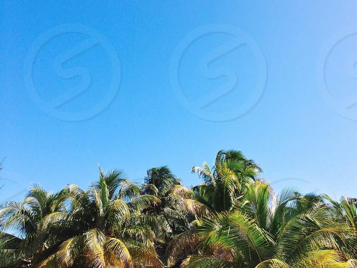 Palm trees & blue sky  photo