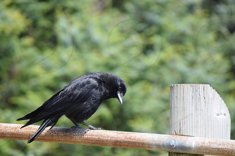 crow bird black watching looking perching clever photo