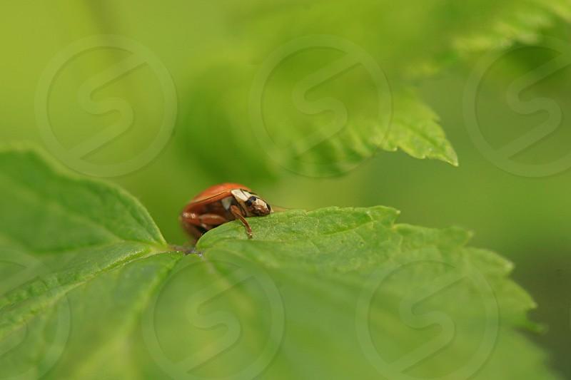 red ladybug sitting on green leaf photo