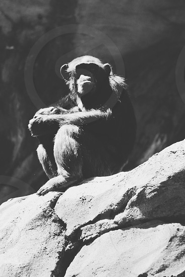 animal chimpanzee sitting on rock photo