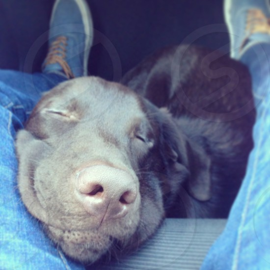 dog sleep smile car travel nose brown labrador jeans trainer happy cute comfortable peaceful laces seat sleeping fur coat ear eyes  photo