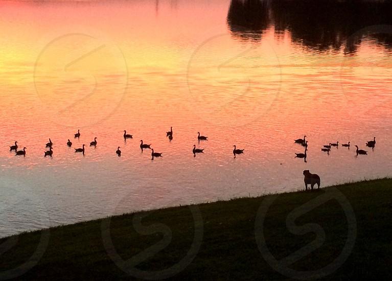 Bulldog watching geese at sunset on the lake. photo