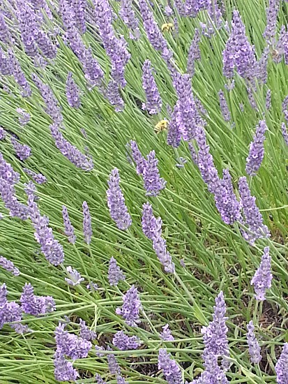 Bees flowers lavender photo