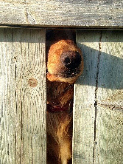Red retriever nose through the wood fence photo