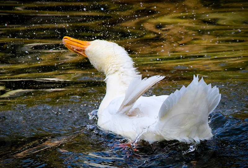 birds duck birding water splash swim swimming lake drying white feathers fresh colors animals ducks photo