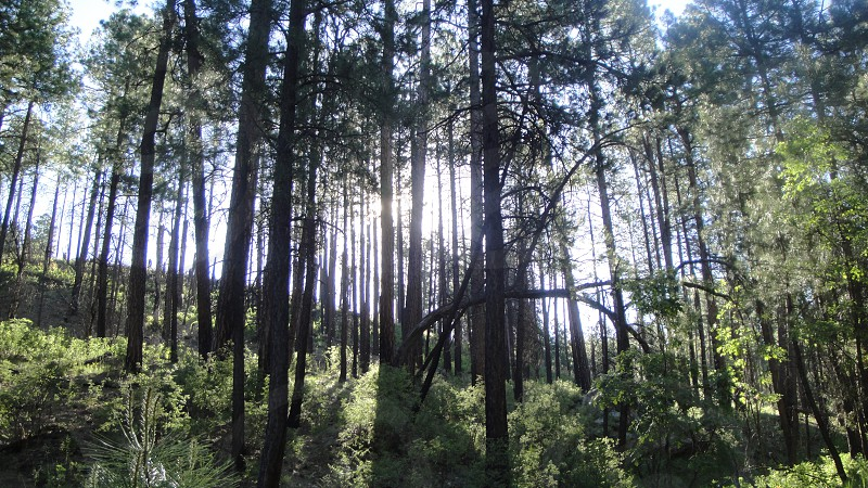 green tall trees panoramic photography photo