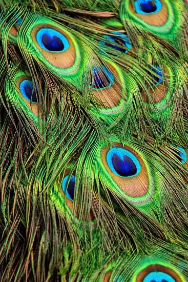 Feathers  photo
