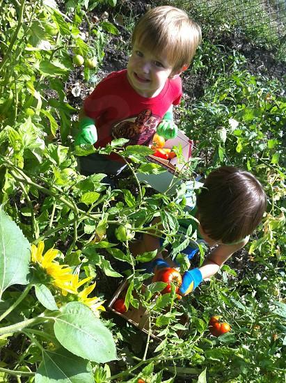 2 boys picking tomatoes photo