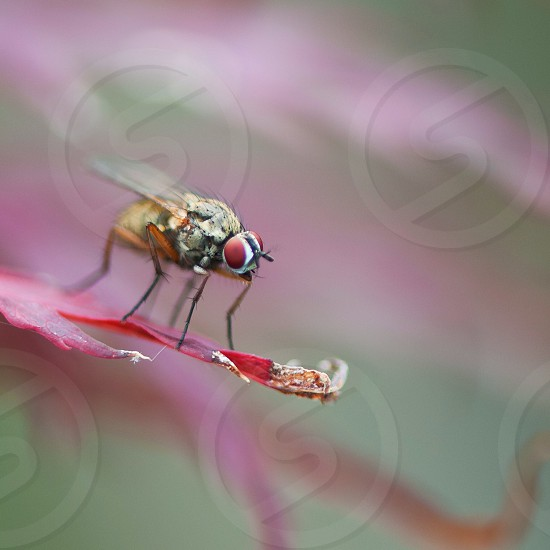 hoverfly on red leaf photo