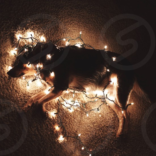 dog wrapped with christmas lights photo