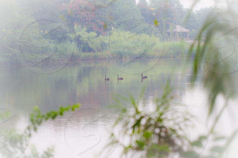 Black Swan Lake China  photo