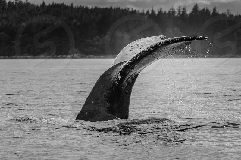 Humpback whale Auke Bay Alaska Sasha Whale photo