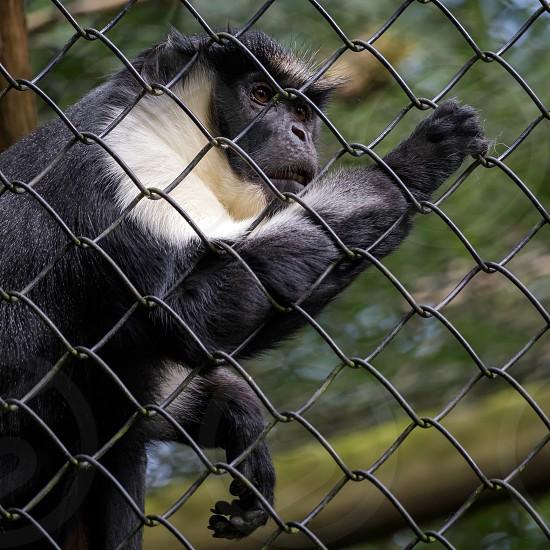 Diana Monkey (Cercopithecus diana) photo