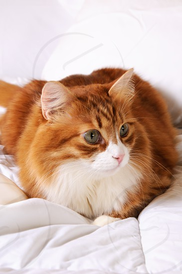 Fluffy red-headed cat resting on a bed in a white bed. photo
