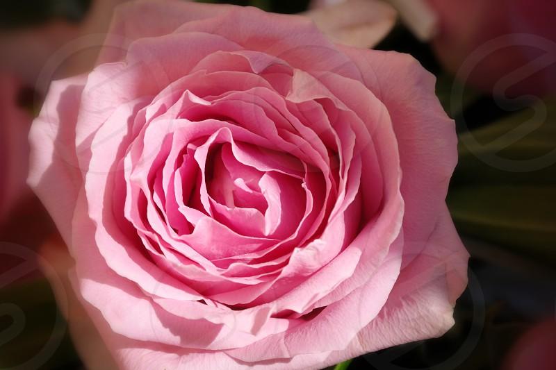 Pink roseflowers photo