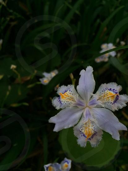 シャガ(Iris japonica Thunb.) photo