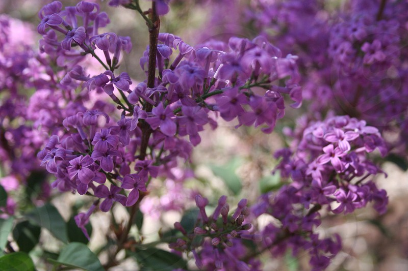 Spring lilacs purple flower tree spring in New Mexico  photo