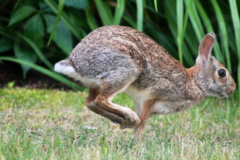 brown hare hopping photo