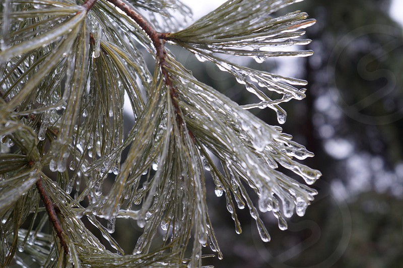 Frozen pine  photo