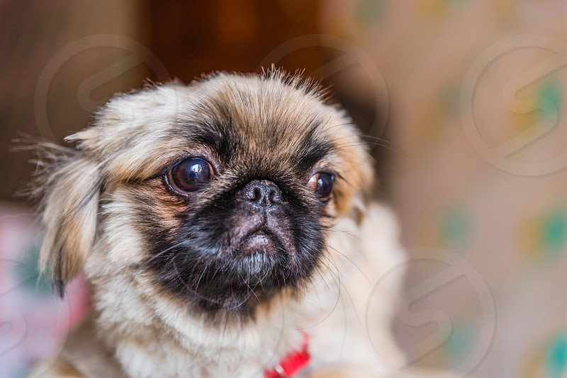 The Pekingese is an ancient breed of toy dog originating in China sitting photo