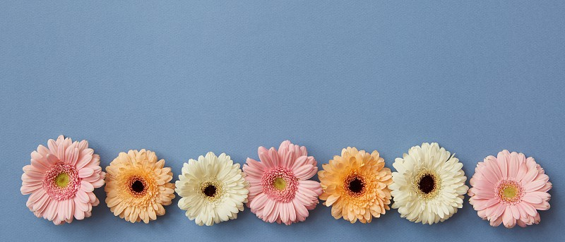 A beautiful series of colored buds of gerberas isolated on a blue background with a place under the text for the site background or greeting card photo