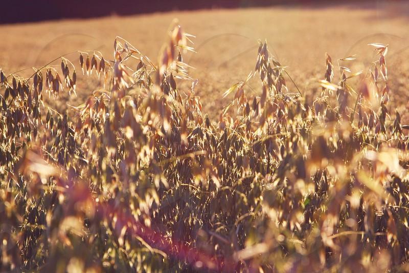#farms #grain #harvest photo