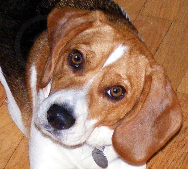 Curious beagle looks up at the camera. photo