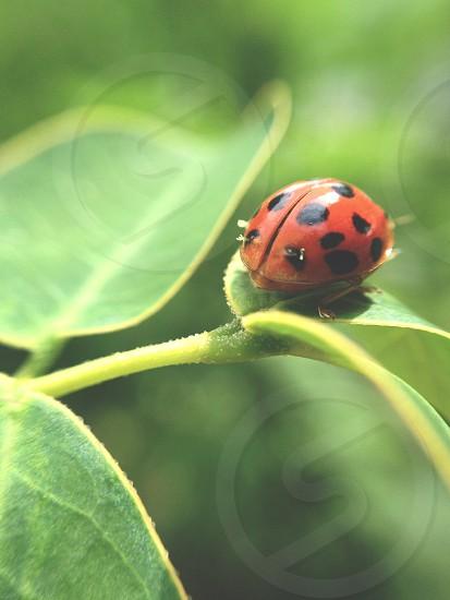 Lady-Bug Macro Olloclip  photo