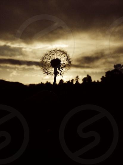 Dandelion Silhouette  photo