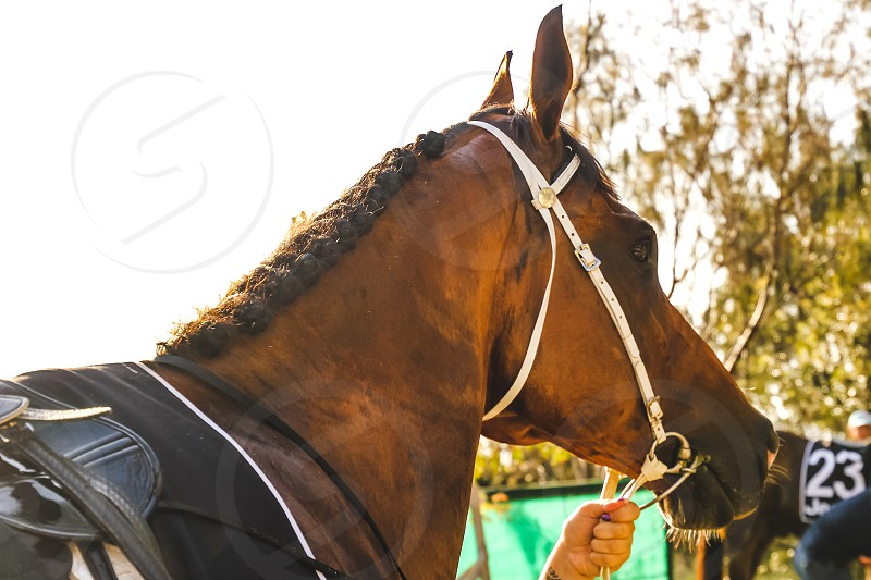 Magic Millions an Australian Thoroughbred racehorse auction house which holds auctions around Australia each year including its world famous Gold Coast Yearling Sale at Surfers Paradise in Queensland close up of a racehorse  photo