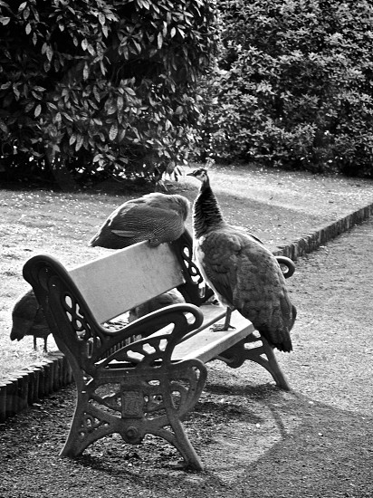 peacock on wooden bench photo