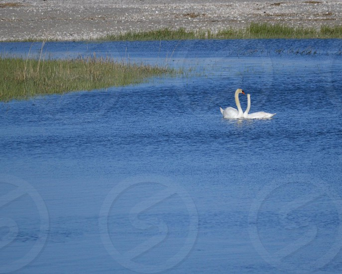 2 swans in water photo