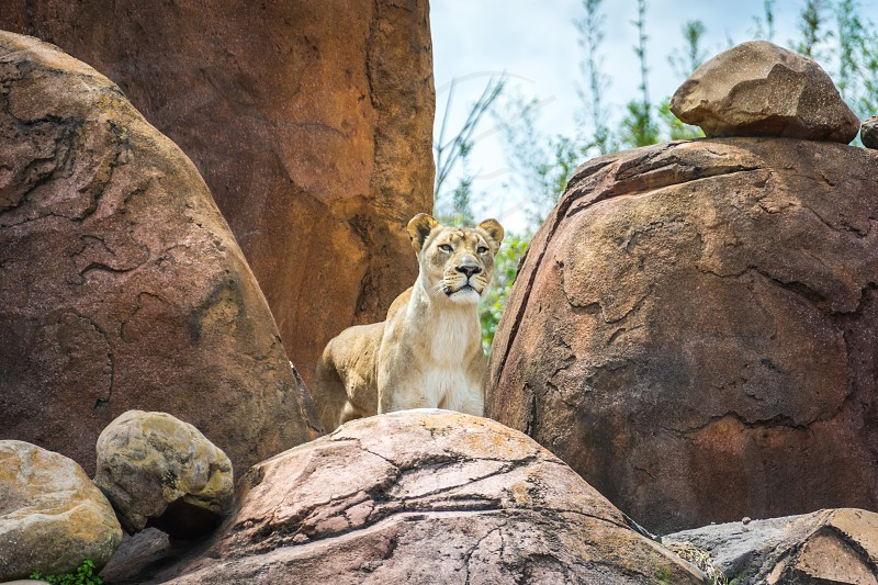 lioness standing on brown rock formation photo