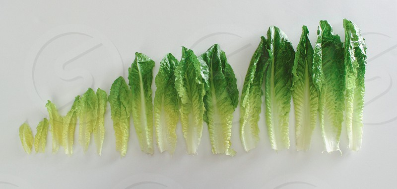 Romaine lettuce leaves arranged side-by-side according to size photo