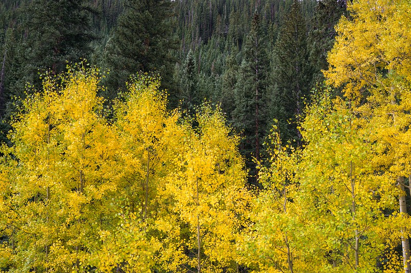 Aspen trees with golden yellow leaves photo