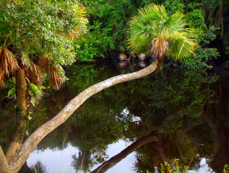 leaning palm tree photo photo
