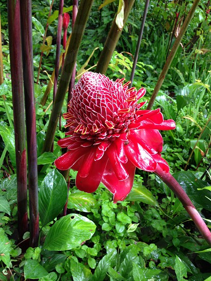Torch Ginger from Hawaii Tropical Botanical Garden photo