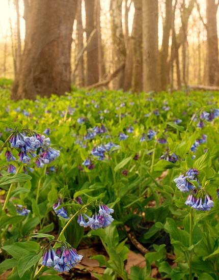 Bluebells in springtime. Morning. Sunlight. Trees. Golden light. Sunrise. Forest. Flowers.  photo