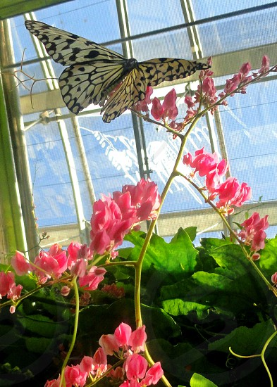 white and black butterfly on pink flower photo