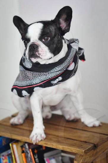 black and white boston terrrier photo