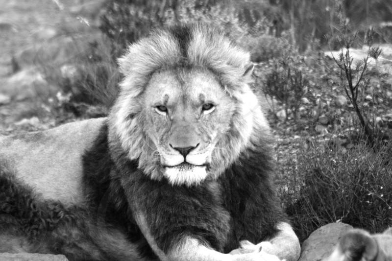 Lion Lions mane photo
