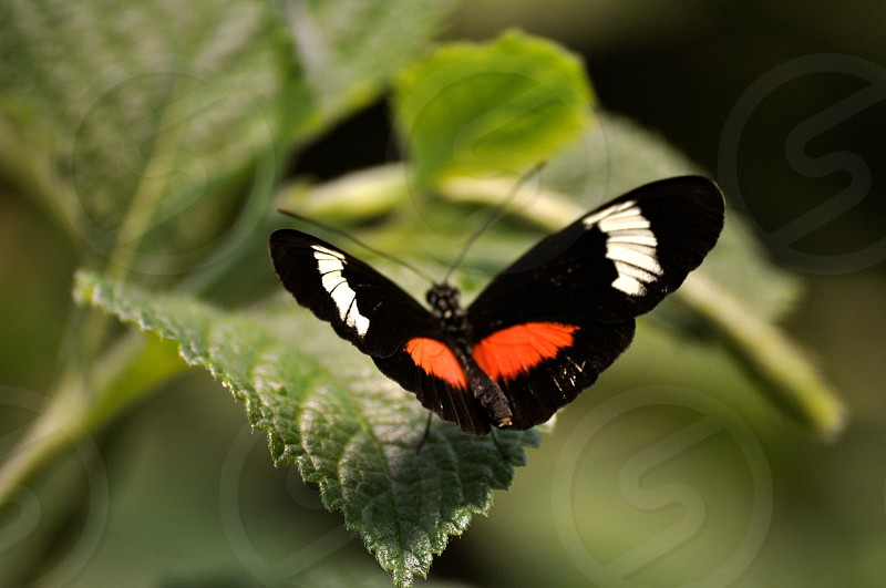 Black and Orange Butterfly sits on a leaf photo