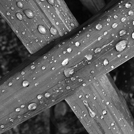 grayscale photography of leaves with water drops photo