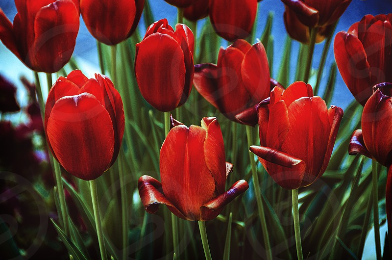 flowers spring bright colours red tulips photo