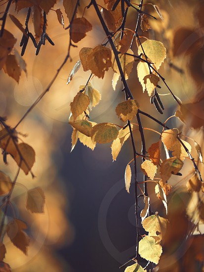 Leaves leaf birch tree trees fall autumn light photo