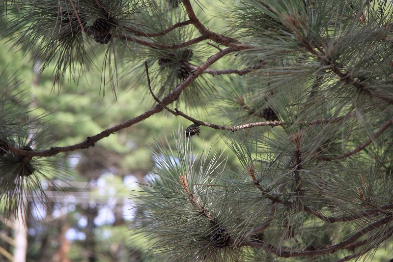 Green forest and pine trees Pine needles.  photo